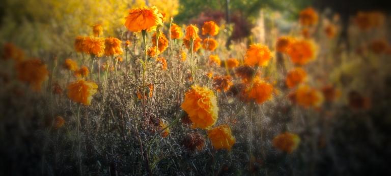 fall-marigolds