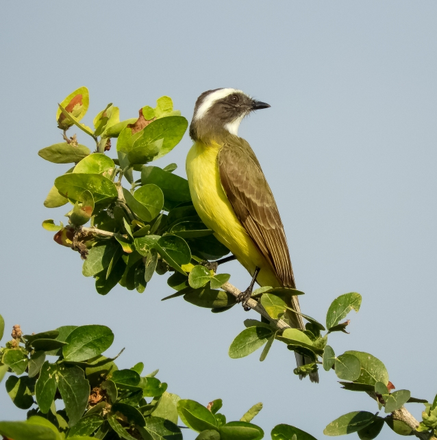 tropical kingbird-2