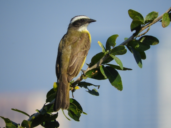 tropical kingbird?