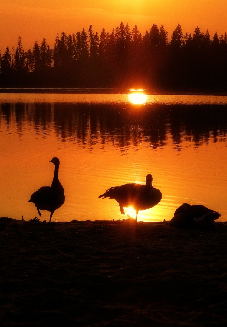 Elk Island Geese at sunset