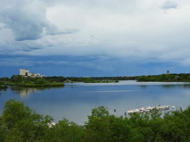 pelicans wascana lake