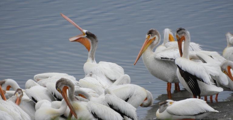 plethora of pelicans